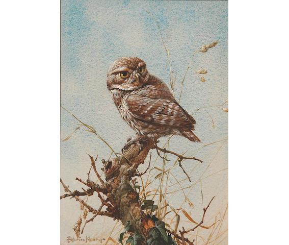 Edwin Penny (British, b.1930) Tawny Owl, 36 x 25 cm.