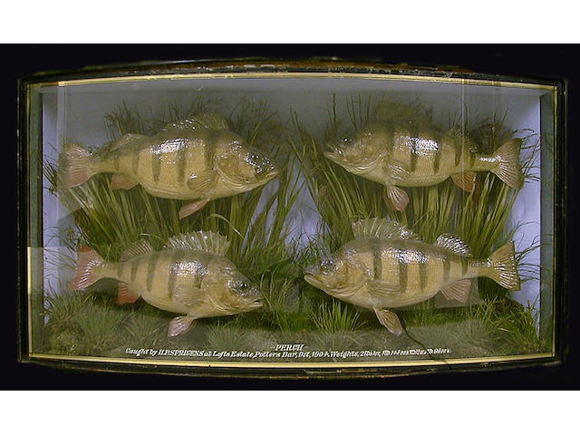 Four Perch mounted in a gilt lined bow front case, split in backboard.