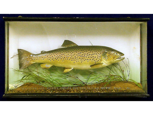 A Trout mounted in a flat front case,