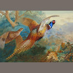 Archibald Thorburn (British, 1860-1935) Flushed pheasants, Autumn 53 x 74 cm.