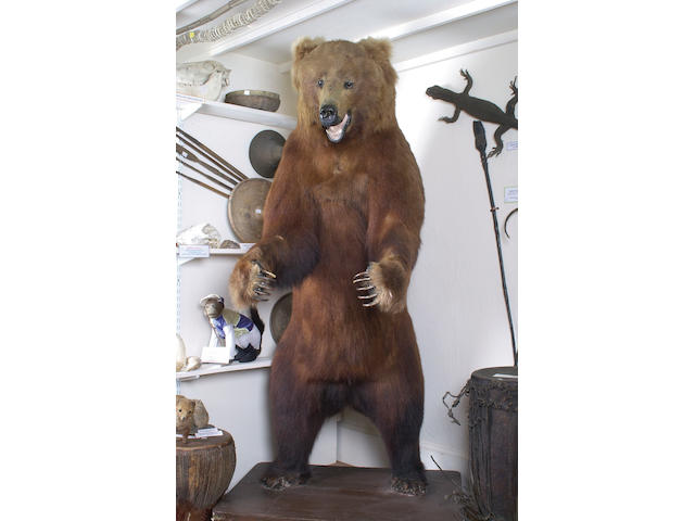 A North American Grizzly Bear, early 20th century,