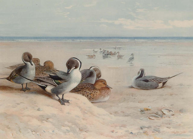 After Archibald Thorburn Pintail preening in a coastal landscape, (image) 29.4 x 40.0cm