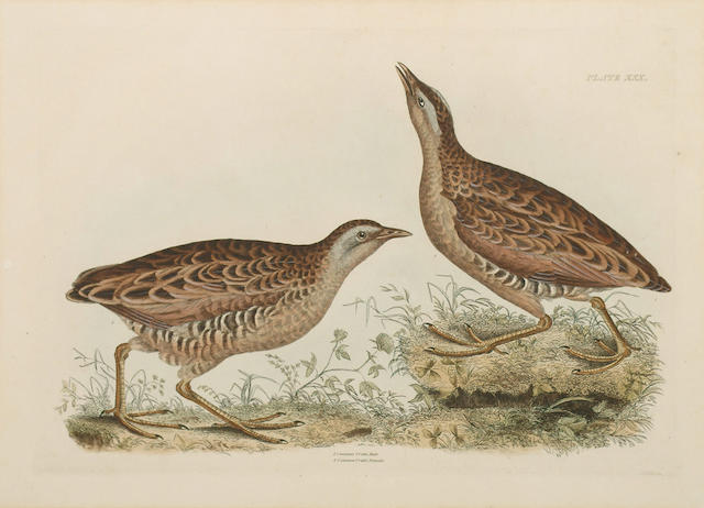 John Prideaux Selby 'Common Dottrel Male Summer Plumage Female Winter Plumage', 'Sabines Snipe, Ground Snipe Summer Plumage', 'Little Grebe Summer Adult plumage and Young', ' Common Crake Male and Female'. approximate (P) 27.5 x 39.5cm (10 3/4 x 15 1/2in)(4)