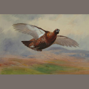 Archibald Thorburn (British, 1860-1935) Red grouse in flight, 14 1/4 x 21 1/4 in (36.5 x 54 cm).