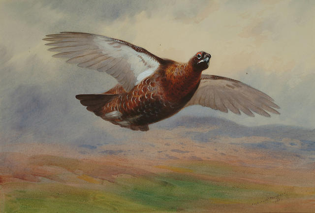 Archibald Thorburn (British, 1860-1935) Red grouse in flight, 36.5 x 54 cm (14 1/4 x 21 1/4 in)