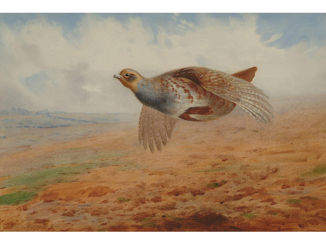 Archibald Thorburn (British, 1860-1935) Grey partridge in flight, 14 1/4 x 21 1/4 in (36.5 x 54 cm).