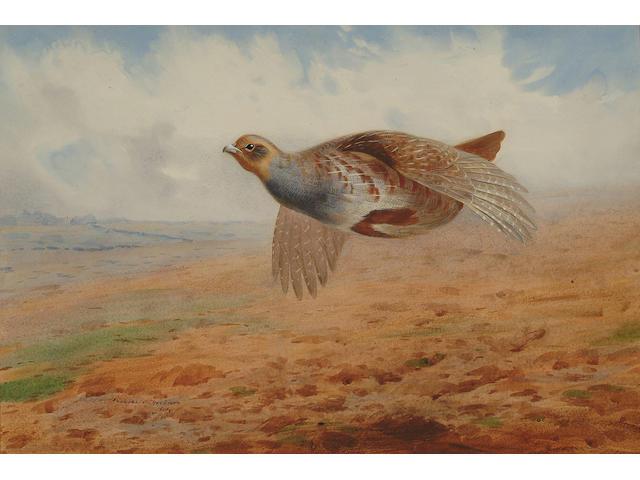 Archibald Thorburn (British, 1860-1935) Grey partridge in flight, 36.5 x 54 cm (14 1/4 x 21 1/4 in)