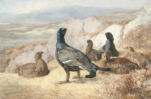Archibald Thorburn (British, 1860-1935) Black Game Disturbed, 44.2 x 67.cm. (17 3/8 x 26 3/8 in)