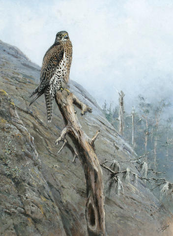 George Edward Lodge (British, 1860-1954) Gyr Falcon, 57 x 43 cm (22 1/2 x 17 in)