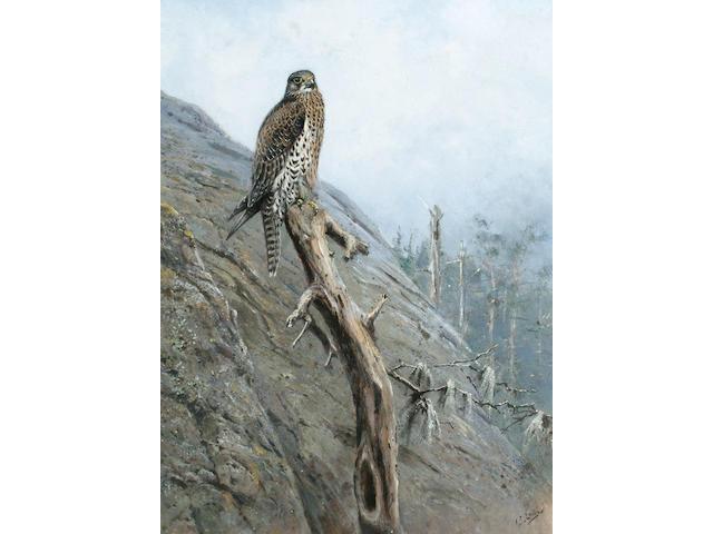 George Edward Lodge (British, 1860-1954) Gyr Falcon, 57 x 43 cm (22 1/2 x 17 in)