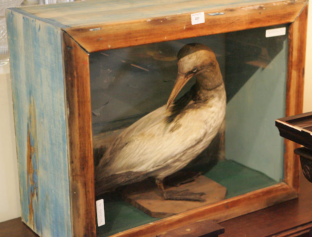 A cased Taxidermy of a Gannet,
