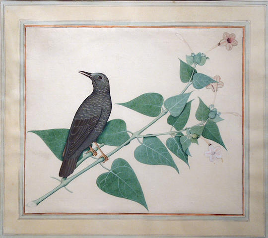 Anglo-Indian School (19th/20th century) 'Asian Songthrush on a branch' 28 x 33cm (11 x 13in)