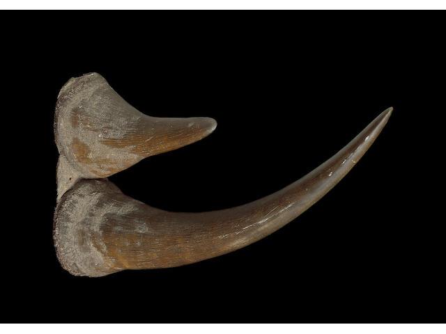 ** now c/n: 7289556** A large double rhinoceros horn