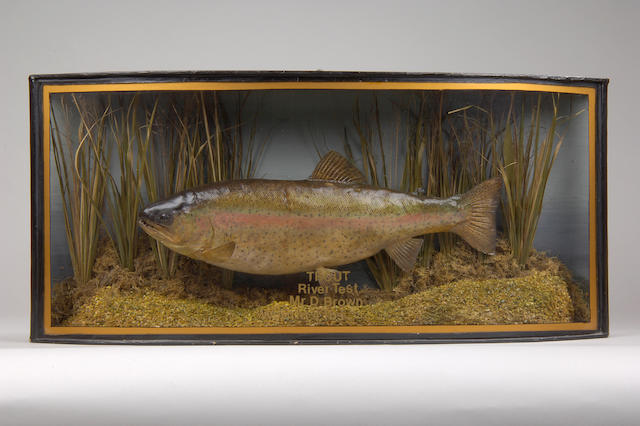 A trout mounted in a gilt lined bow front case