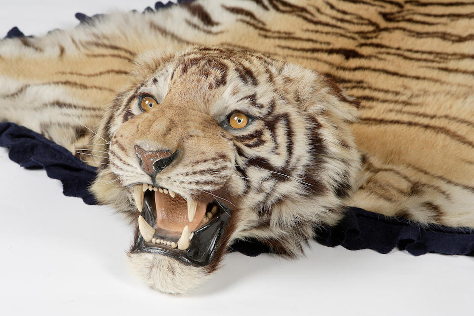 A late 19th century Tiger skin