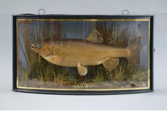 Taxidermy chub in bowfront case