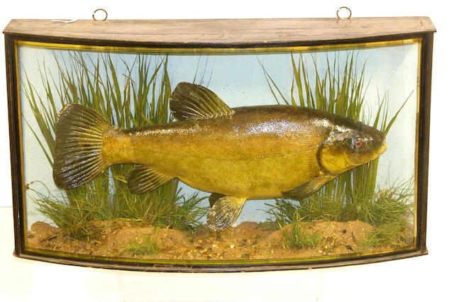 A Tench mounted  in a bow front gilt lined case
