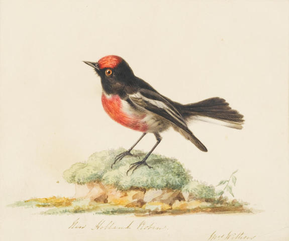Augusta Innes Withers (British, 1793-1870) A study of an Australian Red Capped Robin, Petroica goodenovii 15.2 x 17.8 cm. (6 x 7 in.)