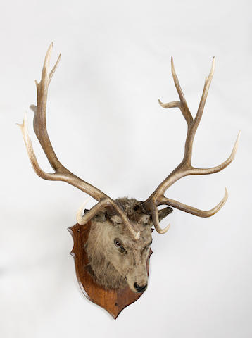 A large 'Wappity' stag's head trophy