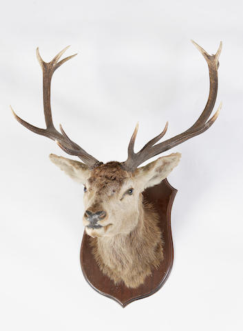 A Royal Stag's trophy head