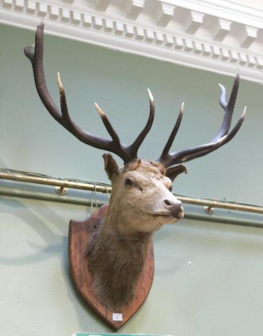 A stag's trophy head
