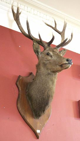 A large Royal stag's head trophy