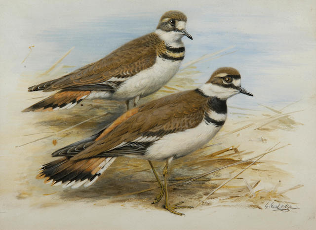 George Edward Lodge (British, 1860-1954) A pair of Kildeer plovers on the shingle