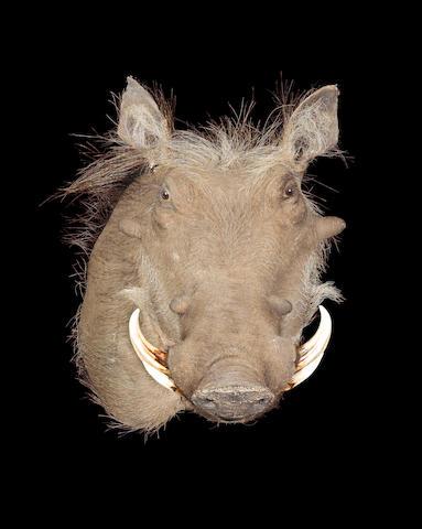 A Wart-hog head
