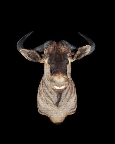 A Wildebeest head
