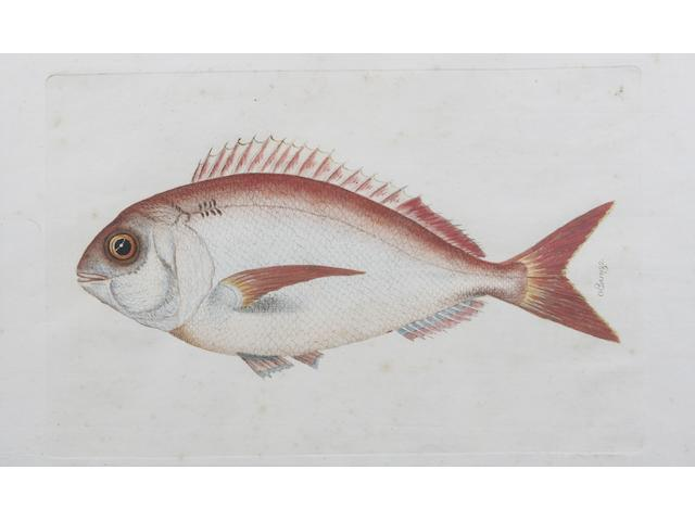 Manuel Bru (Spanish, 1736-1802) 'Viejo' (and another 16 similar of fish, many uninscribed (17))