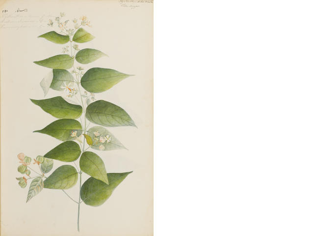 An album of 118 botanical watercolours Company School, circa 1820