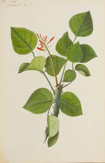 An album of 118 botanical watercolours Company School, Northern India, late 18th Century