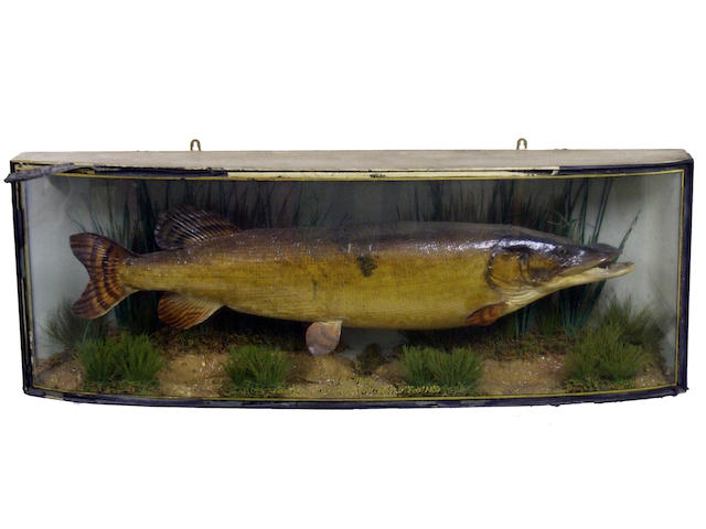 A Pike set in a bow front gilt lined case