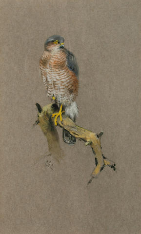 George Edward Lodge (British, 1860-1954) Sparrowhawk 20 x 12cm (8 x 4 3/4in).