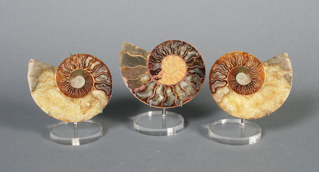 Three pairs of small ammonites