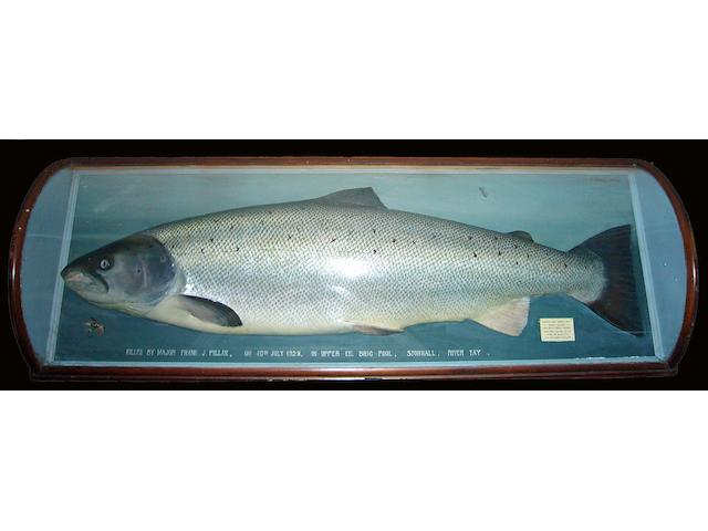 P. D. Malloch. Perth.  A finely painted model of a 50lb salmon