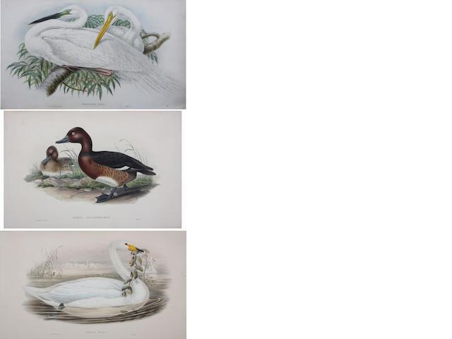J. Gould & H. C. Richter (British, 19th Century) Herodias Alba; Uria Troile; Euspiza Melanocophala; Melanocorypha Calandra I. 37 x 55cm (largest).