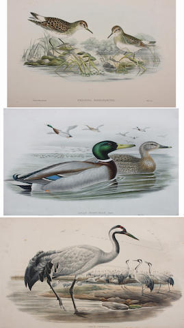 J. Gould & W. Hart (British, 19th Century) I. 37 x 54.5cm also Grus Cinerea by Wolfe & Hart; Cygnus Minor and Anas Boschan by Wolf & Richter; Squatarola Helvetica, Falcinellus Igneus, Curruca Orphea and another by Gould & Richter (three unframed).  (12)