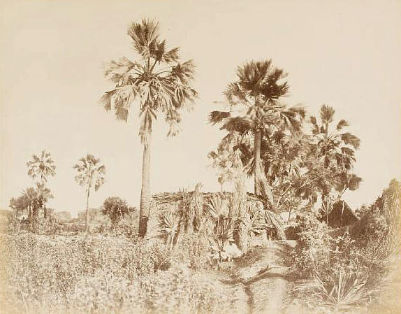 AGRA  Palm trees near the Taj Mahal by John Murray, c.1858-1862