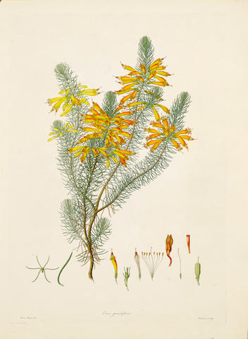 BAUER (FRANZ ANDREAS) [Delineations of Exotick Plants, Cultivated in the Royal Gardens at Kew, Drawn and Coloured and the Botanical Characters]