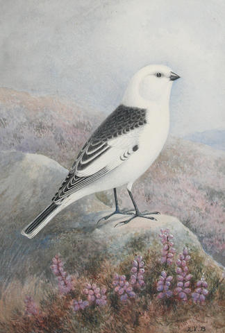 English School, late 19th/early 20th Century Snow Bunting perched on a rock