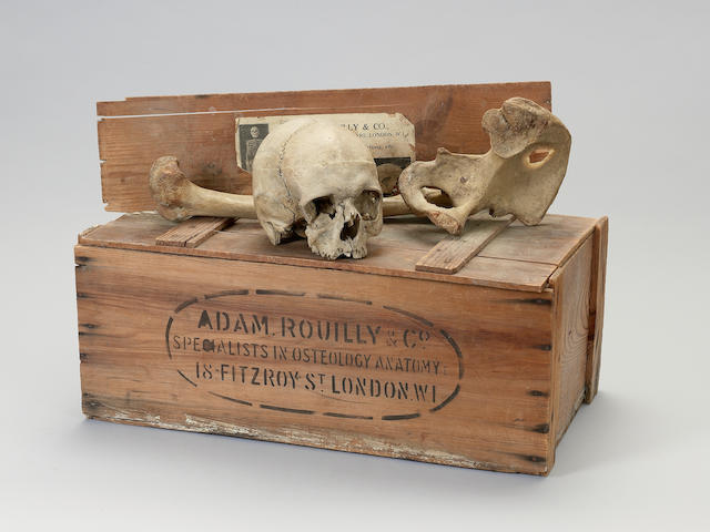 Two wooden cases of human bones boxes 60cm wide.