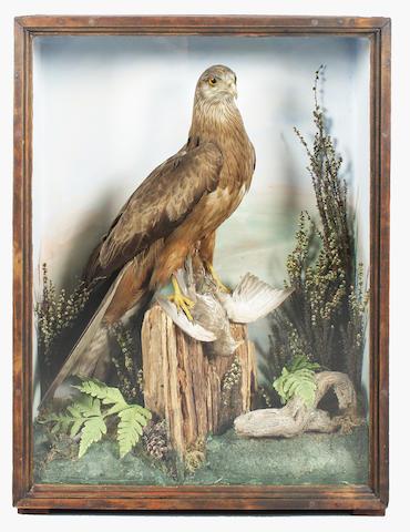 A Victorian taxidermy study of a Black Kite