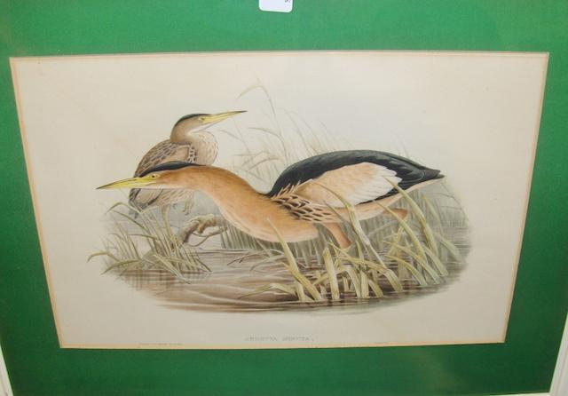 John Gould (British, 1804-1881), Nine hand coloured lithographs of birds to include Falco Islandus, Ciconia Nigra and Botaurus Lentigiosus, 34 x 50cm. 9