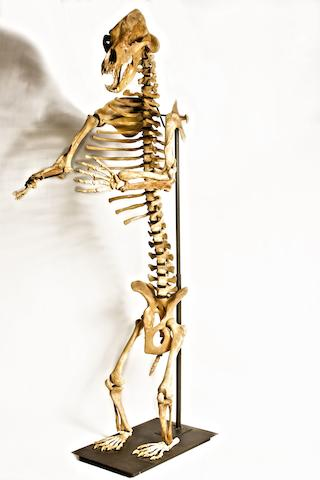 A cave bear skeleton, Ursus spelaeus, Carpathian Mountains, Romania,
