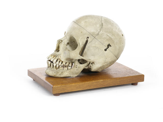 A medical student's human skull,  19th century,