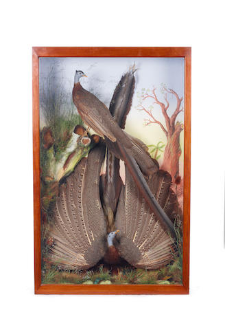 A fine pair of adult male great argus pheasants by James Gardner of London