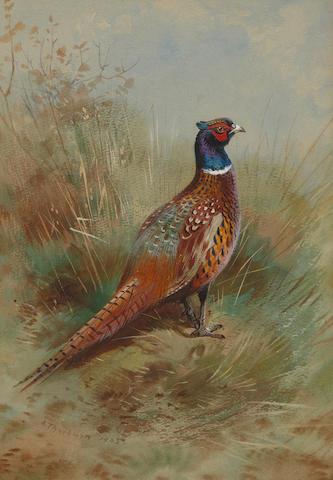 Archibald Thorburn (British, 1860-1935) Cock pheasant