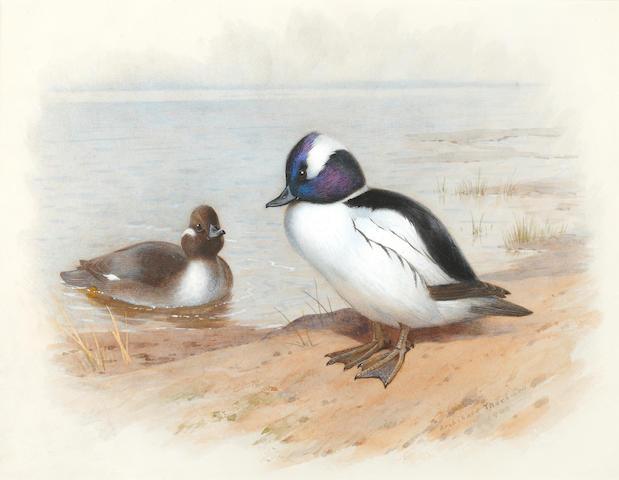 Archibald Thorburn (British, 1860-1935) Study of a male and female Buffel-headed duck
