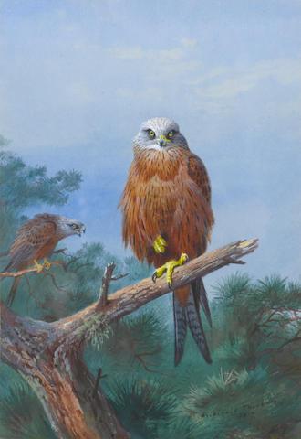 Archibald Thorburn (British, 1860-1935) Red Kite